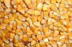 Corn, wheat fodder