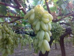 Виноград Хусаин белый