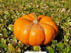 Pumpkin for expor