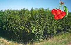 Saplings fruit sweet cherry