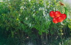 Saplings sweet cherry wholesale