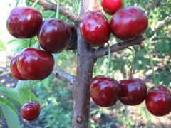 Sweet cherry saplings