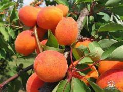 Apricot Anniversary of Navoiy