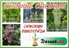 Саженцы Виноград Дамский пальчик