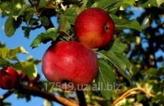 Apple-tree Aport (Obkomsky)