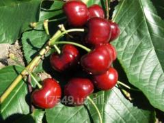 Sweet cherry Bakhor
