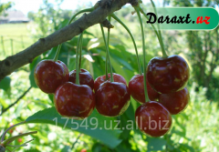 Sweet cherry blister beetle saplings