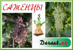 Grapes saplings in assortmen