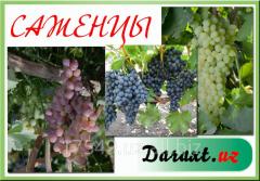 Саженцы винограда технических сортов