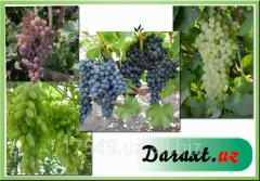 Оптовая и розничная продажа саженцев винограда