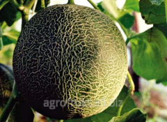 Melon winter grade