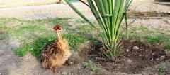 Цыплята страуса от 1 недели.