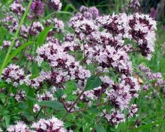 Marjoram ordinary, or Oregano (Latin Oríganum