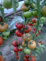 Tomatoes without GMO and 100% bioproducts