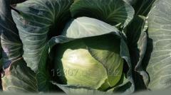 Fresh white cabbage harvest of 2016