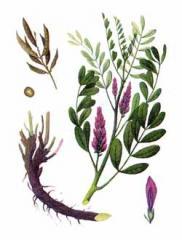جذور النباتات الطبية