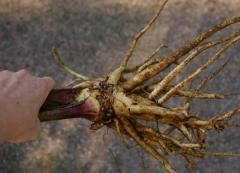 Devyasil's root high