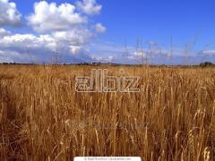 Зерно Амарант