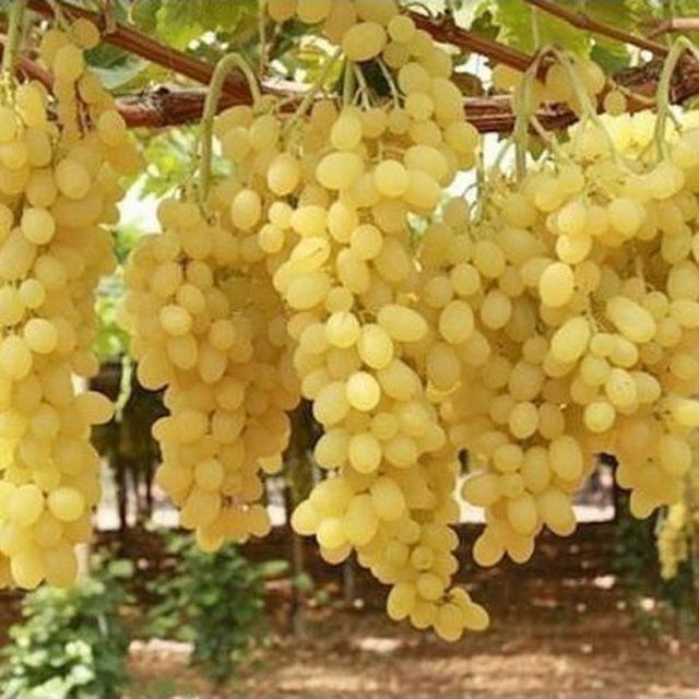 abrikos_chereshnya_sliva_nektarin_persik_vinograd