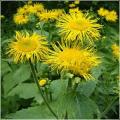 Девяси́л, или Жёлтый цвет