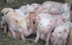 Консалтинг в животноводстве