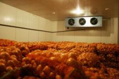 Хранение овощей в промышленных холодильниках