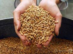 Фитоэкспертиза семян на наличие мицелия пыльной головни в эмбрионах семян пшеницы и ячменя