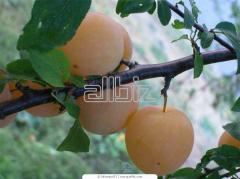 Выращивание фруктовых деревьев