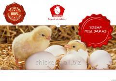 Выращивание цыплят несушки