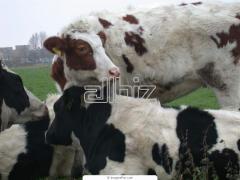 Разведение крупного рогатого скота. Осеменение