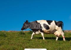 Разведение крупного рогатого скота. Разведение