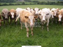 Животноводство. Создание высокопродуктивных