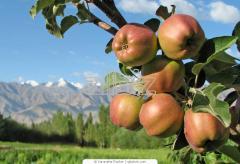 Выращивание яблок